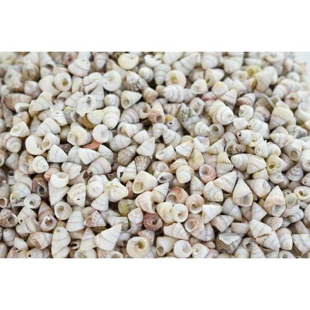 1/2 lb (1000+) Very Tiny Venetian Pearls Mini Shells 1/4