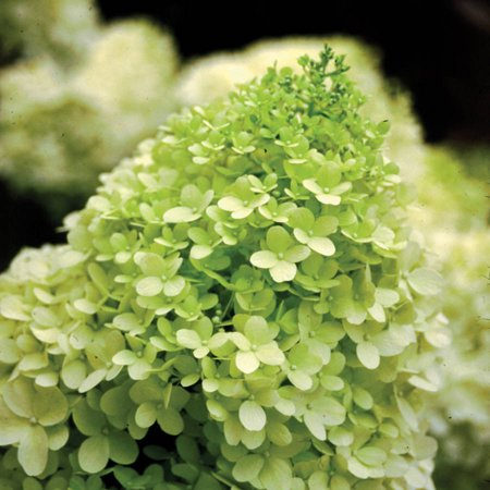Hardy Hydrangea (Limelight Hydrangea (paniculata), White Blooms - Proven Winners)