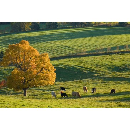 Beef Cattle Grazing In Autumn North Wiltshire Prince Edward Island Canvas Art - John Sylvester Design Pics (17 x 11)