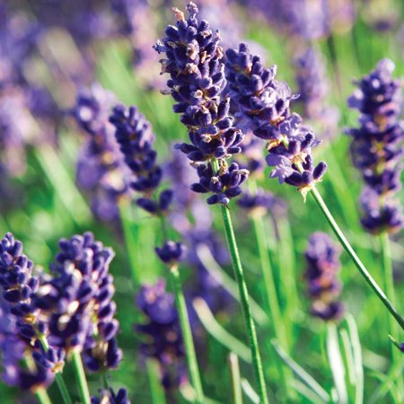 Munstead Lavender Herb - Perennial - Relaxing - Live Plant - Quart