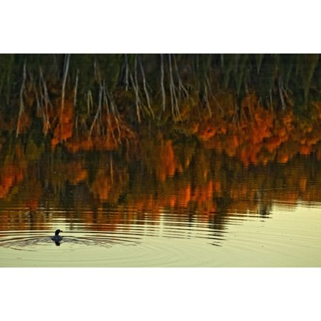 Loon In Opeongo Lake With Reflection Of Trees In Water Algonquin Park Ontario Canvas Art - Robert Postma  Design Pics (34 x (Best Parks In Ontario)