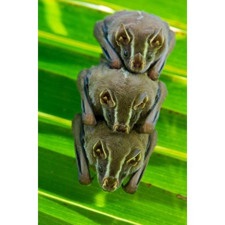 Striped Yellow-eared Bat trio roosting in palm tree Panama Poster Print by James Christensen