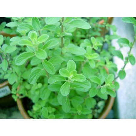 Sweet Marjoram Herb Plants- Non GMO- Two (2) Live Plants - Not Seeds -Each 4