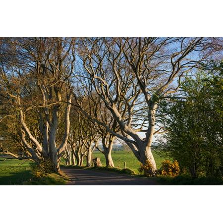 Halloween In Northern Ireland (Tree lined at dawn, Dark Hedges, Ballymoney, County Antrim, Northern Ireland Print Wall)