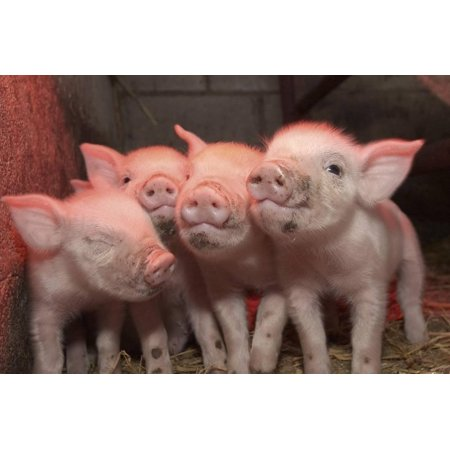 Domestic Pig, Middle White piglets, standing under heat lamp, England Print Wall Art By John Eveson ()