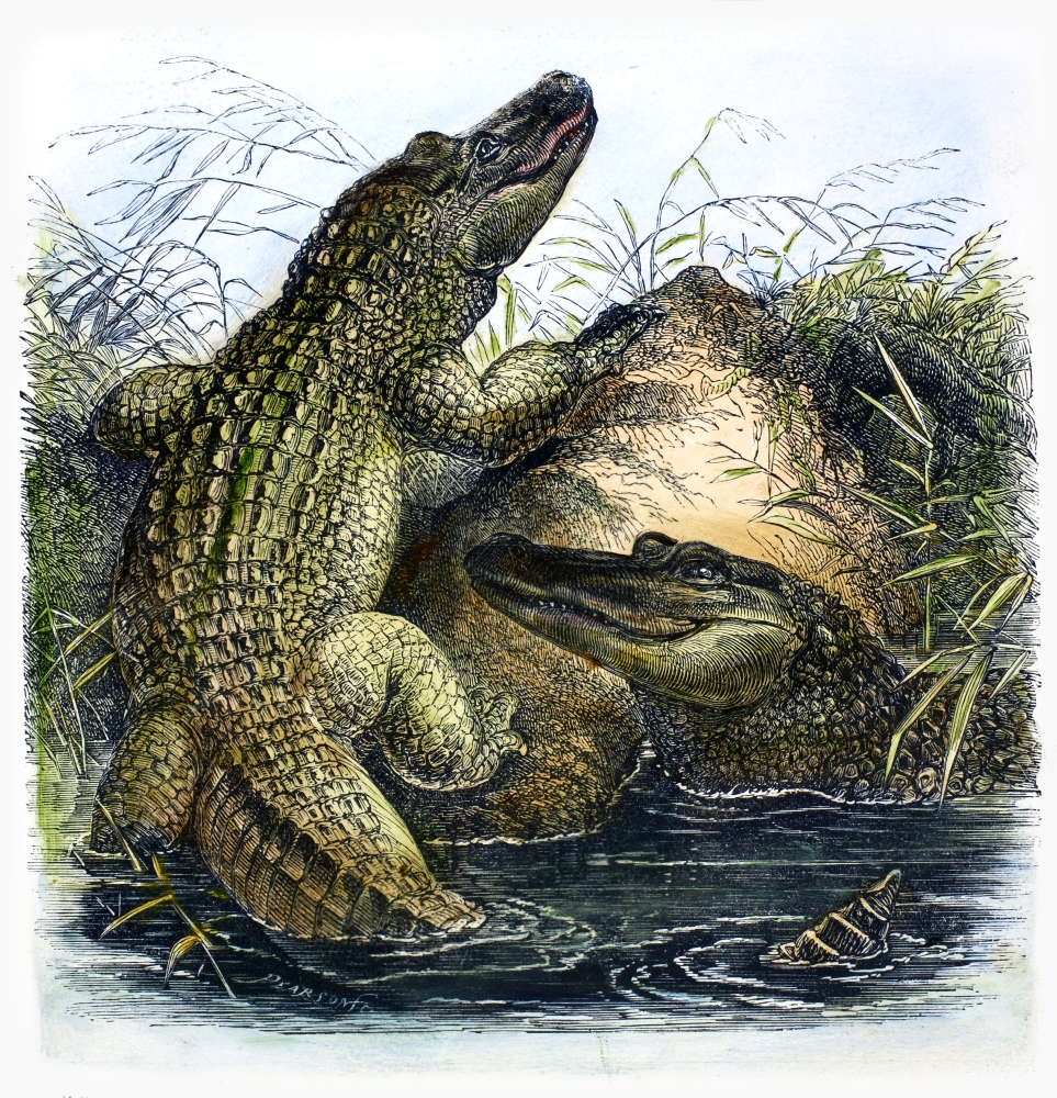 Florida Alligators Nwood Engraving 19Th Century Poster Print by Granger Collection