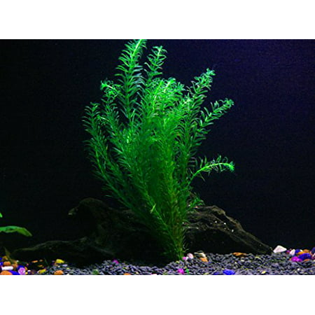 Aquarium Plants Algae (1 Anacharis Bunch - 4+ Stems | Egeria Densa - Beginner Tropical Live Aquarium)