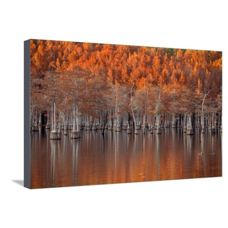 Twin Well Warmer - USA, Georgia, Twin City, Cypress trees in the fall at sunset. Stretched Canvas Print Wall Art By Joanne Wells