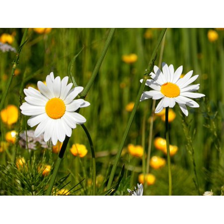 LAMINATED POSTER Field Prato Spring Daisies Petals Nature Flowers Poster Print 24 x 36