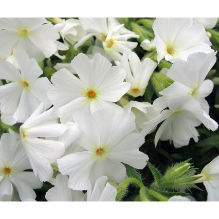 - Early Spring White Creeping Phlox Perennial - Quart Pot