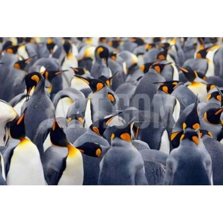 King Penguins Colony. Many Birds Together, on Falkland Islands. Wildlife Scene from Nature. Animal Print Wall Art By Ondrej Prosicky