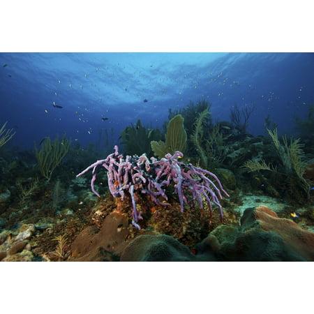 Purple sponge on a deep reef Bonaire Caribbean Netherlands Poster - Deep Reef