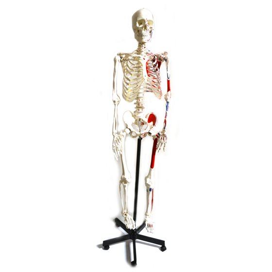 Muscular Painted Human Skeleton Anatomical Model With Mounted Stand