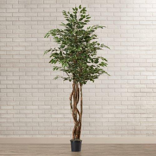 Brayden Studio Fir Variegated Ficus Executive Tree in Pot
