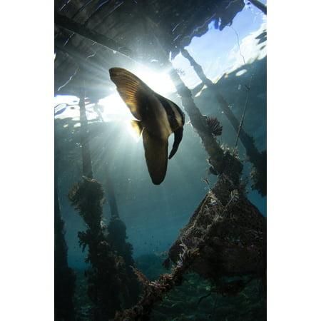 Juvenile Longfin Batfish Raja Ampat Indonesia Poster Print By Vwpicsstocktrek Images