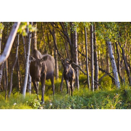 Cow And Calf Moose In Birch Forest Along The Tony Knowles Coastal Trail At Sunset During Summer In Anchorage Southcentral Alaska Canvas Art - Kevin Smith Design Pics (18 x 12)