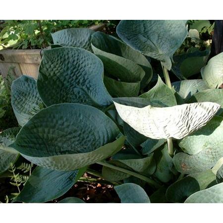 Abiqua Drinking Gourd Hosta Blue Green Leaves 4 Pot Walmartcom