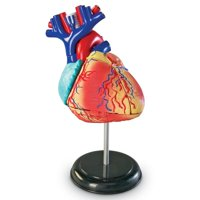 Learning Resources Heart Anatomy Model, 29 Pieces, Ages 8+