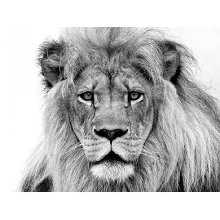 Male Lion Rolled Canvas Art   William Franklin  22 X 28