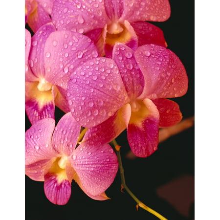 - Close-Up Of Purple Vanda Orchid Flowers On Plant Dew Water Droplets Studio C1664 PosterPrint