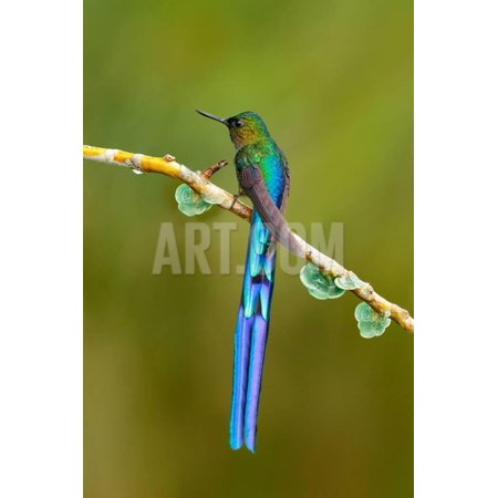 Bird with Long Tail. Beautiful Blue Glossy Hummingbird with Long Tail. Long-Tailed Sylph, Hummingbi Print Wall Art By Ondrej Prosicky Long Tail Bird