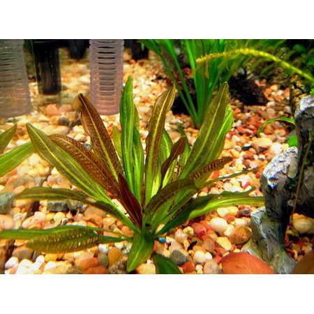 Tropical Plates (Potted Rubin Sword - Beginner Tropical Live Aquarium Freshwater)