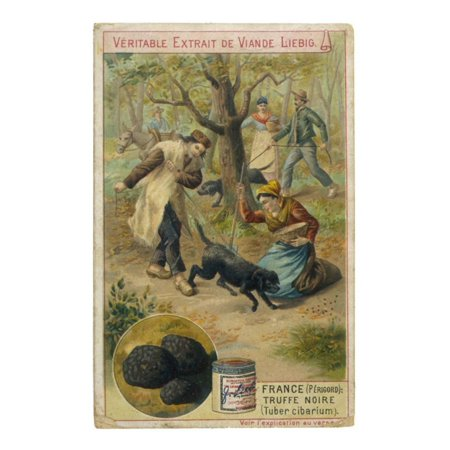 Dogs of Perigord (France) Sniffing for Truffles Print Wall Art