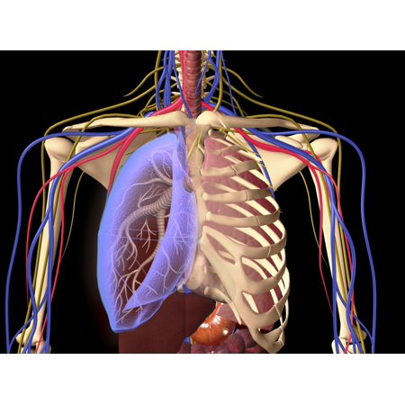 Human skeleton showing a transparent lung with surrounding rib cage and nervous system Poster