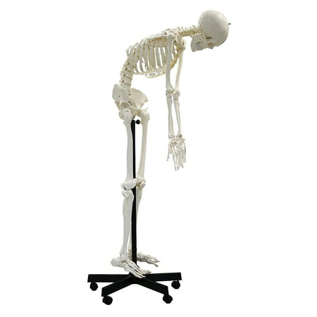 "Vision Scientific Full Size Flexible Human Skeleton -67"" (170cm)"