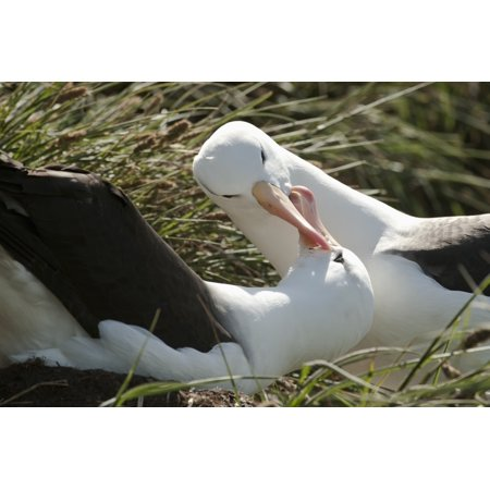 Black-browed Albatrosses (Thalassarche melanophrys) courting West Point Island Falkland Islands Canvas Art - Daisy Gilardini Design Pics (19 x 12)