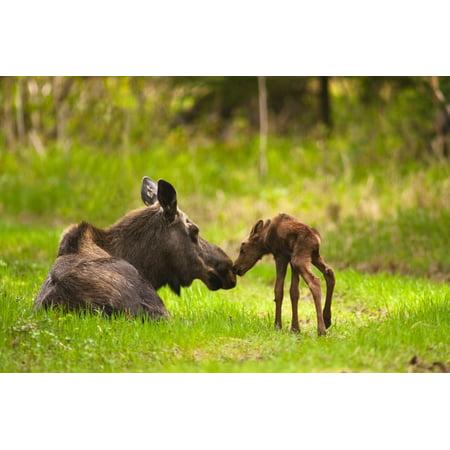 Cow And Calf Moose In Grass Kincaid Park Anchorage Alaska PosterPrint