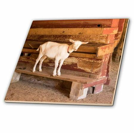Goat Tile - 3dRose North Carolina, Flat Rock, Saanens goat - Ceramic Tile, 4-inch
