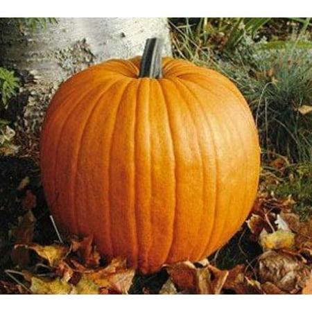 - Pumpkin Connecticut Field Great Heirloom Vegetable 100 Seeds