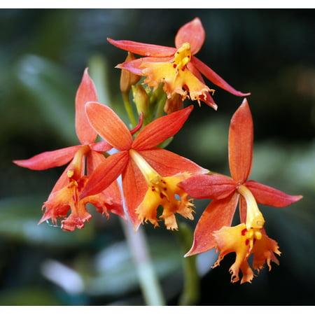 Orange Firestar Epidendrum Reedstem Orchid Plant - 4