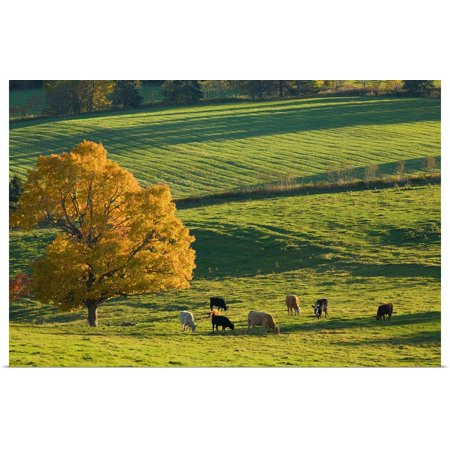 Great BIG Canvas | Rolled John Sylvester Poster Print entitled Beef Cattle Grazing In Autumn, North Wiltshire, Prince Edward Island,
