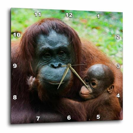 3dRose Malaysia, Sarawak, Semenggoh Nature Reserve, Orangutan and baby, Wall Clock, 10 by 10-inch