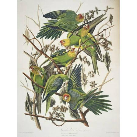 Carolina Parakeet, from Birds of America,