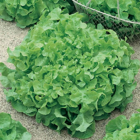 Leaf Lettuce Garden Seeds - Salad Bowl Green - 1 Oz - Non-GMO, Heirloom Vegetable Gardening & Salad Micro Greens (Leaf Lettuce)