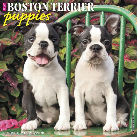 Just Boston Terrier Puppies 2020 Wall Calendar (Dog Breed Calendar) (Other) Terrier Mix Puppy