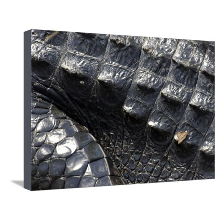 Hide of an Alligator, a Threatened Species, Everglades National Park, Florida Stretched Canvas Print Wall Art ()