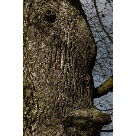 Large Oak Tree (Canvas Print Bark Layer Large Oak Tree Forest Old Oak Stretched Canvas 10 x 14 )