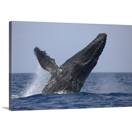 Great Big Canvas Paul Souders Premium Thick Wrap Canvas Entitled Hawaii  Big Island  Humpback Whale Breaching In Pacific Ocean Along Kona