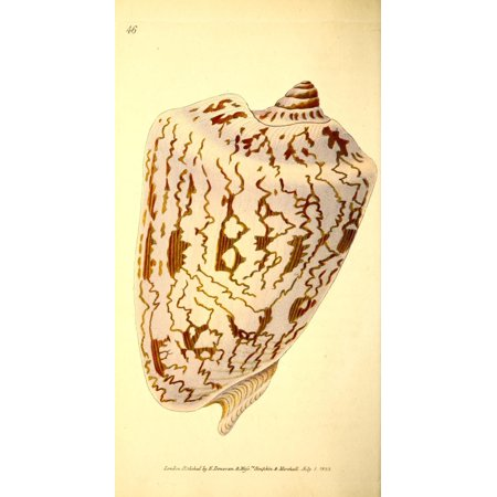 Naturalists Repository 1824 Noble Volute Poster Print By  E Donovan