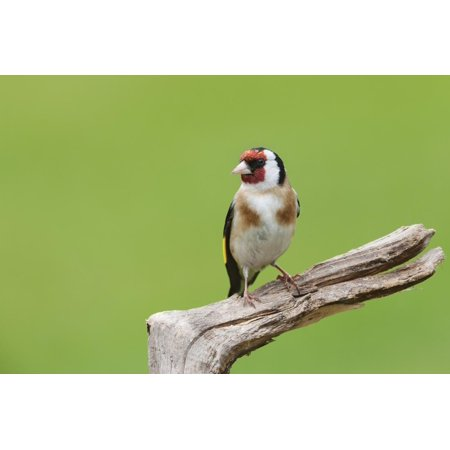Goldfinch (Carduelis Carduelis) Garden Bird, Perched on a Tree Stump, Cheshire Print Wall Art By Garry Ridsdale ()