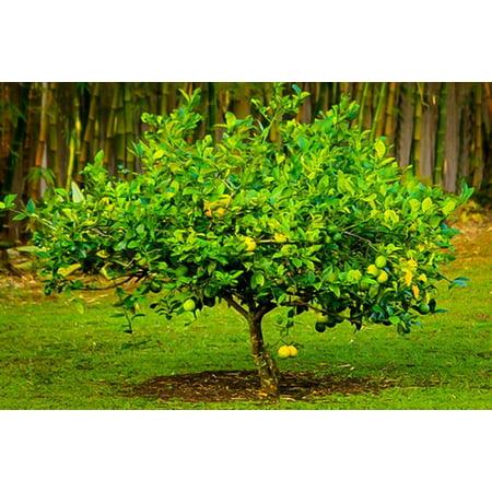 6.19g Lemon