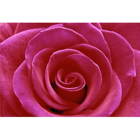 Rose Blossom Poster Print by Natural Selection Chris Pinchbeck, 36 x 24 - Large - image 1 of 1