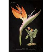 Strelitzia Reginoe on Black Canvas Art - Wild Apple Portfolio (12 x 18)