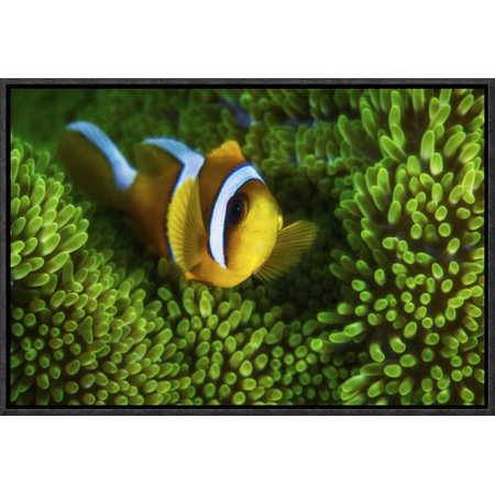 Global Gallery Yellow Clownfish In Green Anemon By Barathieu Gabriel Framed Graphic Art