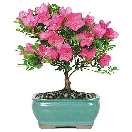 Satsuki Azalea Outdoor Bonsai Tree - Blooms in Spring 5 years old 8