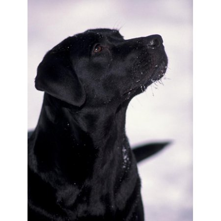 Black Labrador Retriever Looking Up Print Wall Art By Adriano Bacchella